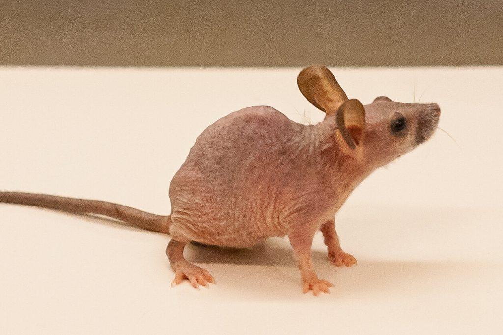 генетично откритие мишка
